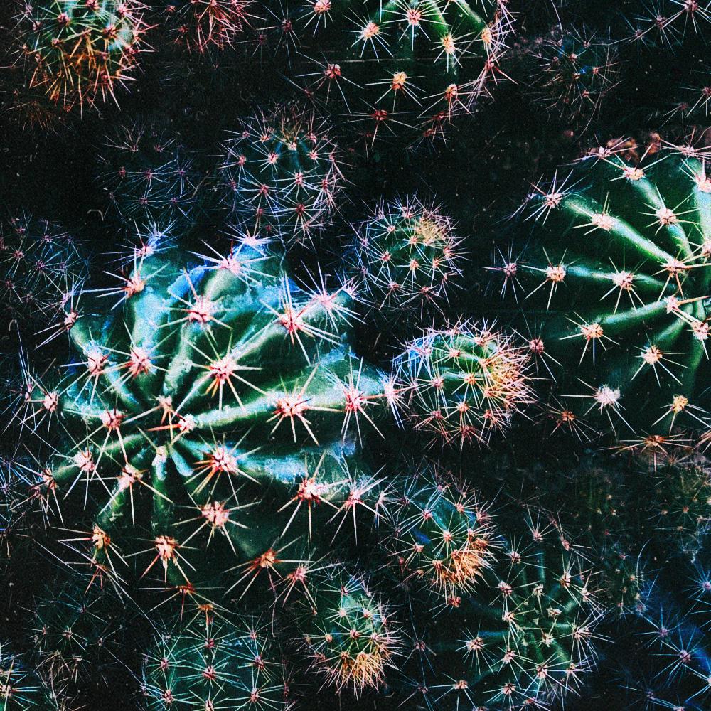 Cactaceae Кактусы
