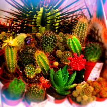 Cactaceae | Кактусы