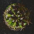 © Killzero Hitori   Cactaceae